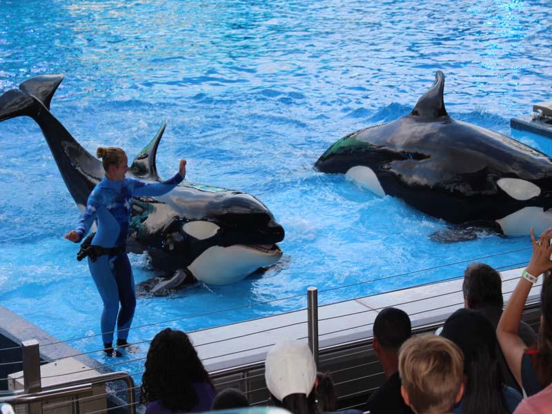 Shamu Killer Whale